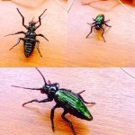 A few views of my first dichroic glass beetle